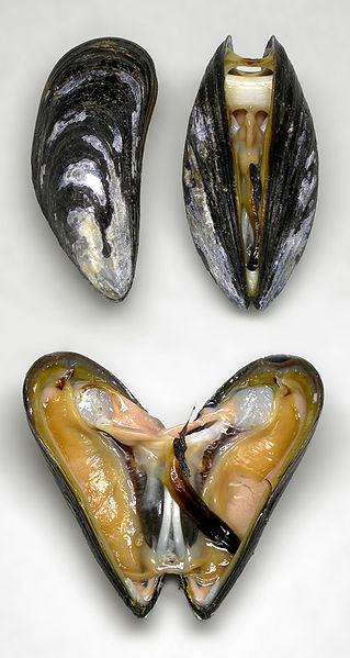 Protein-based adhesive of mussels cross-link in  water creating a solid adhesive plaque that can  attach, or stick to, a large variety of substrates. Source: WikiMedia Commons