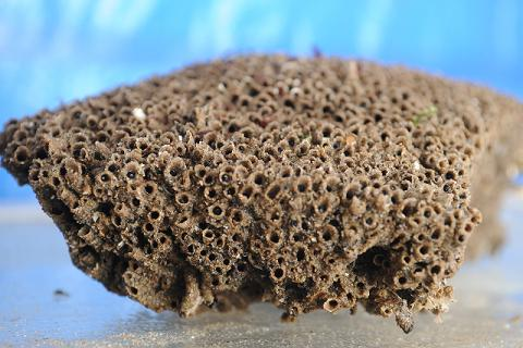 A colony of sandcastle worm