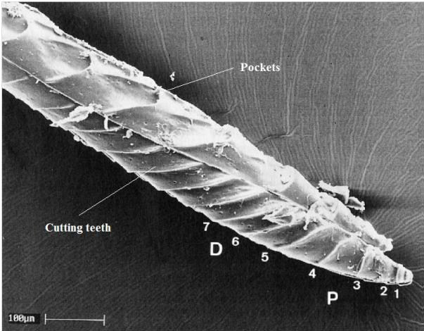 "Fig. 3: Sirex ovipositor: Teeth 1 to 4 point proximally (D) and are  ""pull-teeth""; teeth 6, 7 and higher point distally (P) and are ""push teeth""  [J. F. V. Vincent and M. J. King. The mechanism of drilling by wood wasp  ovipositors. Biomimetics, 3(4):187–201, 1995]"