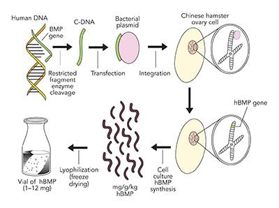 Human bone morphogenic protein